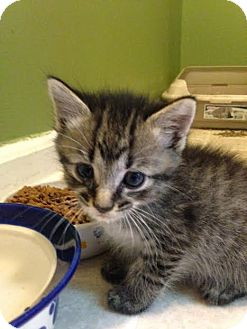 Domestic Shorthair Kitten for adoption in Asheboro, North Carolina - Mellow