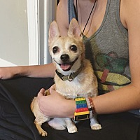 Chihuahua Dog for adoption in Chicago, Illinois - Jimmy Jam