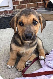 Labrador Retriever Mix Puppy for adoption in Cumming, Georgia - Forrest-Nature Pup