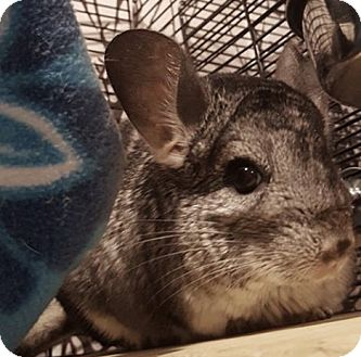 Chinchilla for adoption in Patchogue, New York - Bamboo