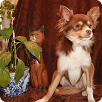 Adopt A Pet :: Cinco - Salem, NH