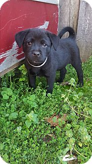 Labrador Retriever/Shepherd (Unknown Type) Mix Puppy for adoption in Glastonbury, Connecticut - Faith~adopted!