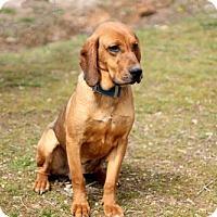 Adopt A Pet :: HANK WILLIAMS - Andover, CT