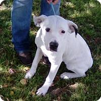 Adopt A Pet :: Bouncer - Tampa, FL