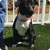 Adopt A Pet :: Diamond - Cerritos, CA