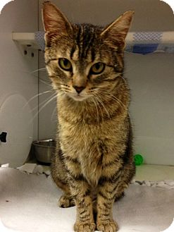 Domestic Shorthair Cat for adoption in Green Bay, Wisconsin - Zinnia