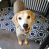 Adopt A Pet :: Copper - Richmond, VA