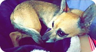 Chihuahua Mix Dog for adoption in Union Grove, Wisconsin - Paige