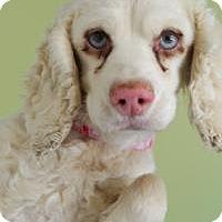 Adopt A Pet :: Daisy - Sherman Oaks, CA