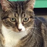 Adopt A Pet :: Vixen - Bartlesville, OK
