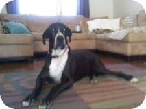 Great Dane Dog for adoption in Phoenix, Arizona - Tank