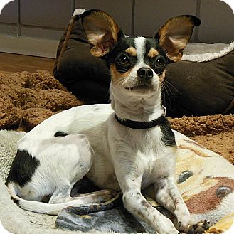 Rat Terrier/Chihuahua Mix Puppy for adoption in Studio City, California - Benny