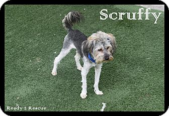 Poodle (Miniature)/Yorkie, Yorkshire Terrier Mix Dog for adoption in Rockwall, Texas - Scruffy