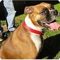 Adopt A Pet :: Lola - Grafton, MA
