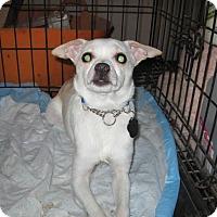 Chihuahua Mix Dog for adoption in DAYTON, Ohio - Khaki