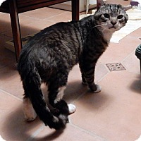 Domestic Shorthair Cat for adoption in St. Louis, Missouri - Scruffy- Courtesy Post