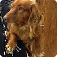 Adopt A Pet :: Canelo - Shawnee Mission, KS