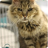 Domestic Mediumhair Cat for adoption in Covington, Louisiana - Grizzly