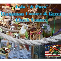 Adopt A Pet :: Lola & Pavo-Green Cheek Conure - Vancouver, WA