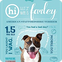 American Staffordshire Terrier Mix Dog for adoption in Jacksonville, Florida - Farley