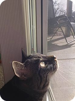 Domestic Shorthair Cat for adoption in Appleton, Wisconsin - Asher *In Foster*