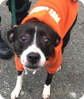 Boston Terrier/Whippet Mix Dog for adoption in Oak Ridge, New Jersey - Flora