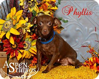 Chihuahua/Dachshund Mix Dog for adoption in Valparaiso, Indiana - Phyllis