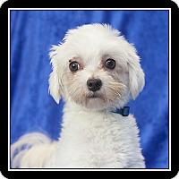 Adopt A Pet :: Kuma - San Diego, CA