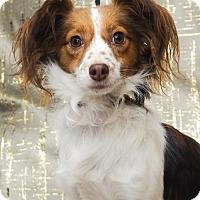 Adopt A Pet :: Pixie - Palo Alto, CA