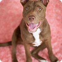 Adopt A Pet :: Audrey / Maggie - Houston, TX