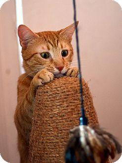 American Shorthair Cat for adoption in Brooklyn, New York - EHI