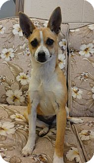 Basenji/Chihuahua Mix Dog for adoption in Hagerstown, Maryland - Roxie