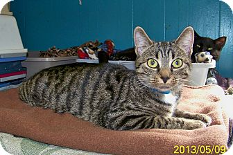 Domestic Shorthair Cat for adoption in Dover, Ohio - Lilian