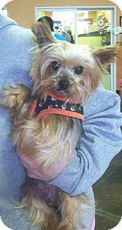Yorkie, Yorkshire Terrier Dog for adoption in Kansas city, Missouri - Joey