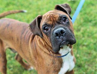 Boxer Dog for adoption in Alameda, California - Cory