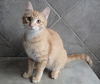 Domestic Shorthair Cat for adoption in Seguin, Texas - Reggie