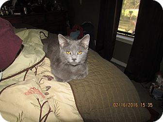 Domestic Shorthair Cat for adoption in DeRidder, Louisiana - Bear