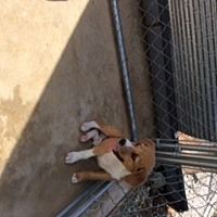 Beagle/Collie Mix Puppy for adoption in Melbourne, Arkansas - Little Man