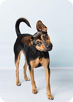 Rat Terrier Mix Dog for adoption in Hendersonville, North Carolina - Daisy