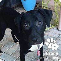 Adopt A Pet :: Brody - Sarasota, FL