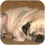 Pug Dog for adoption in Windermere, Florida - Tibbie