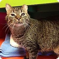 Domestic Shorthair Cat for adoption in Topeka, Kansas - Max