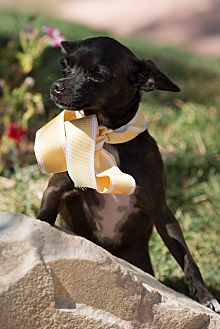 Chihuahua Dog for adoption in Sherman Oaks, California - Bambi
