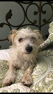 Maltese/Terrier (Unknown Type, Small) Mix Dog for adoption in El Segundo, California - Henry