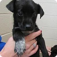 Adopt A Pet :: Latte - Millersville, MD