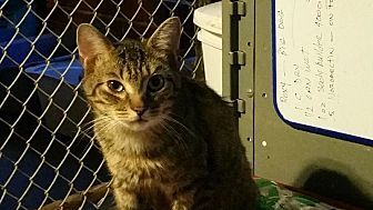 Domestic Shorthair Kitten for adoption in Columbia, South Carolina - CK