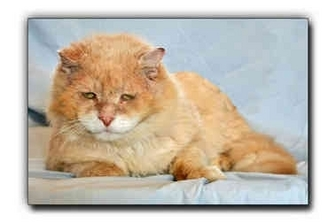 Domestic Longhair Cat for adoption in Howell, Michigan - Lucky Bear