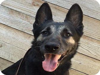 German Shepherd Dog Dog for adoption in Portland, Oregon - Little Jon