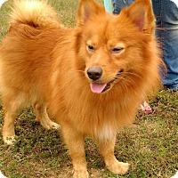 Adopt A Pet :: Lil Red - Richmond, VA