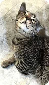 Domestic Shorthair Cat for adoption in Marco Island, Florida - Aaron